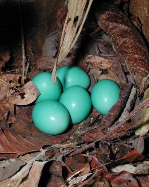 20090807_harupi_tinamou_eggs