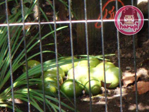 20090807_harupi_uenozoo_green_tinamou_eggs