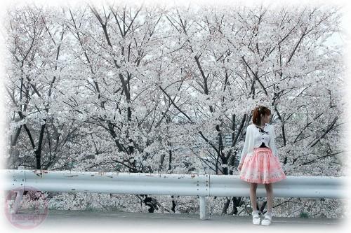 The sakura season