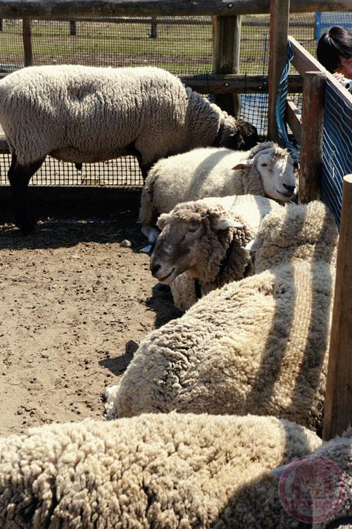 Sheep at Mother Farm