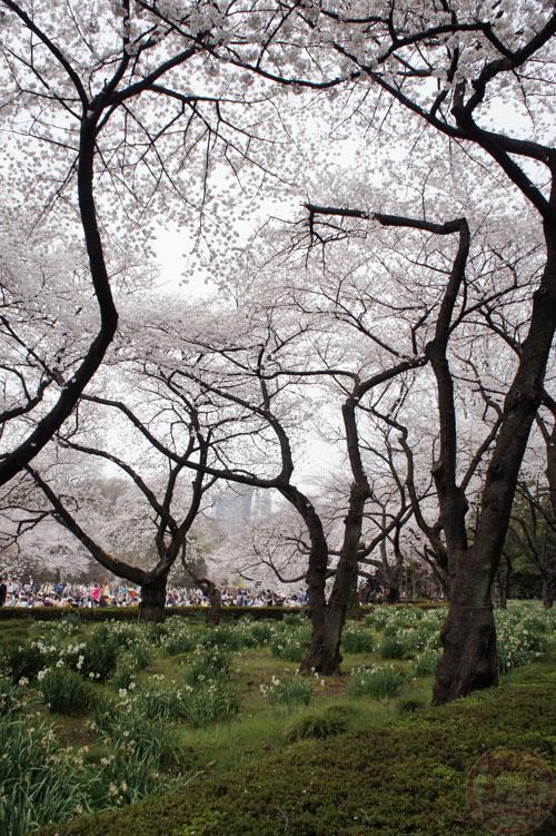 Sakura roof in Shinjuku-gyoen 新宿御苑