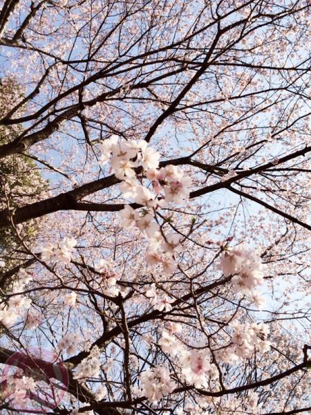 Sakura in Mitsuike Koen 三つ池公園の桜