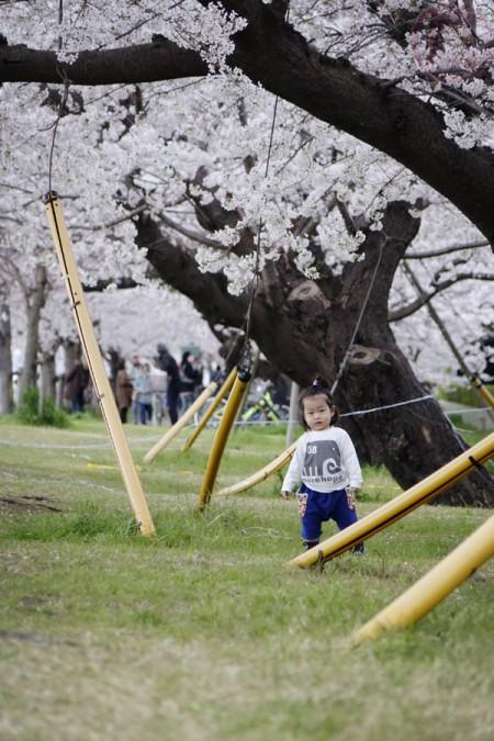 Sakura along Tamagawa riverside 多摩川の河原の桜並木