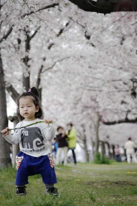 Playing under the Sakura along Tamagawa riverside 多摩川の河原の桜並木