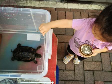 Feeding the tortoise かめさんに餌やり
