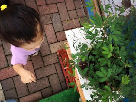 Mimosa pudica plant おじぎ草