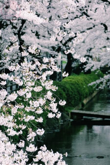 Sakura in Shukugawara