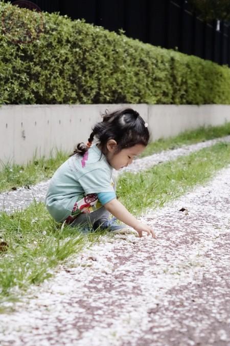 Observaing the fallen Sakura!