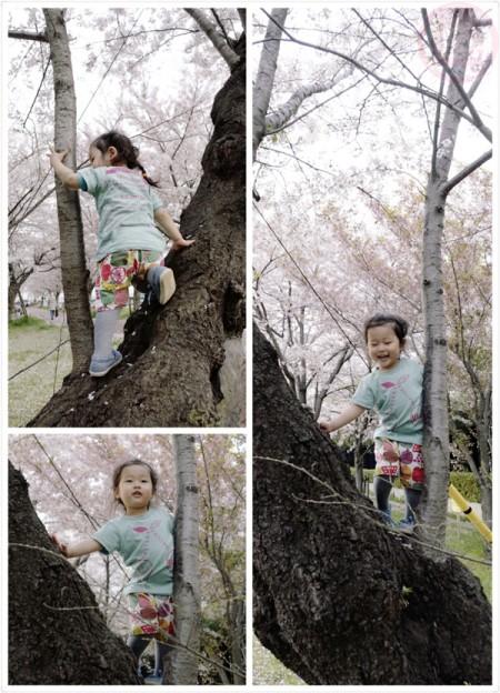Climbing up the Sakura tree
