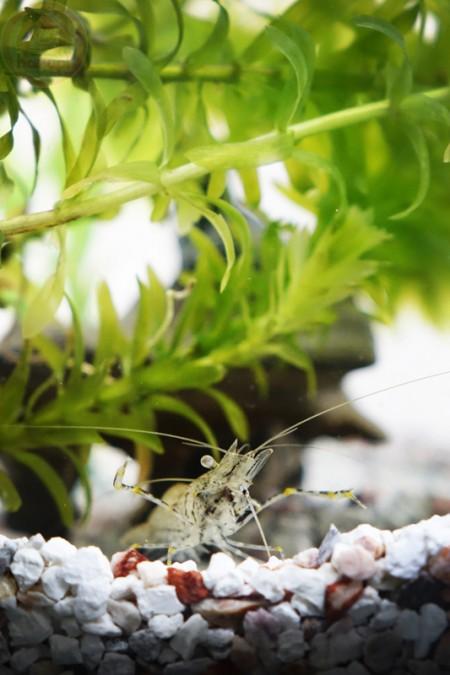 Caridean shrimp スジエビ